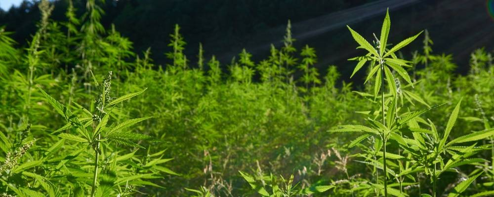 Growing Hemp In The United States