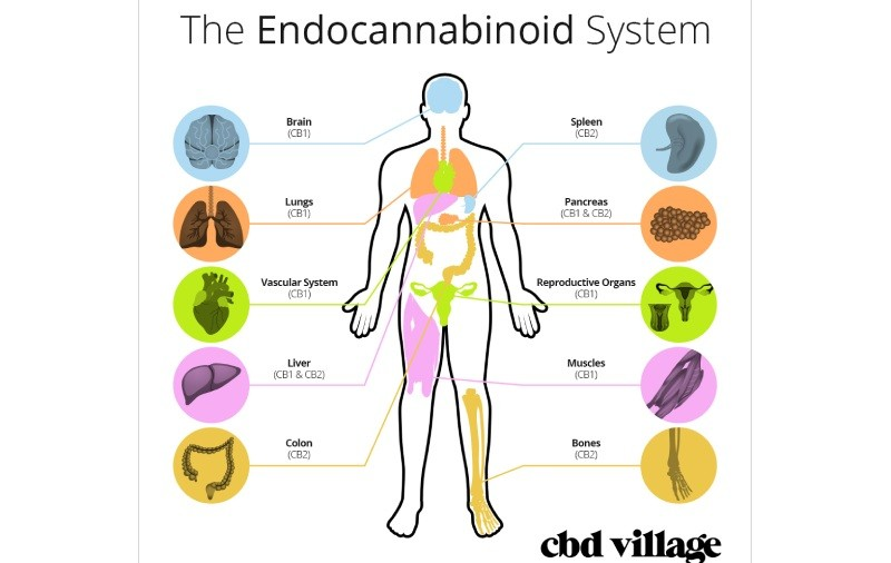 The Endocannabinoid System – Everything You May Not Know About It